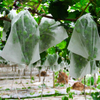 Eco-friendly pp fruit cover agriculture protection bags pp spunbond non-woven fabric